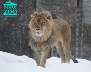 LION SNOW